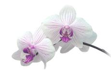Orchidee Weiss-Violett